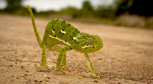 Jaci's Safari Lodge - Madikwe Game Reserve - Chameleon