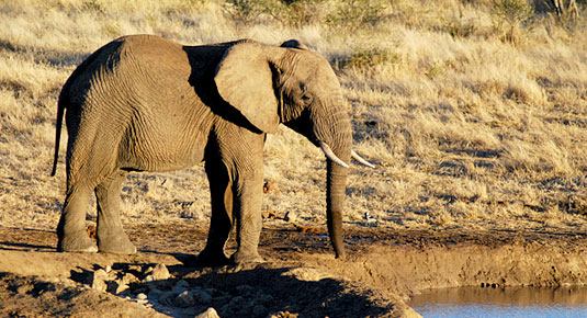 Madikwe Game Reserve - Elephant at Waterhole
