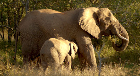 Madikwe Game Reserve - Elaphant & Her calf
