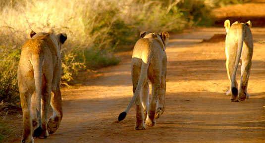 Madikwe Game Reserve -  Lions walking down the road