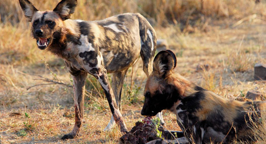 Madikwe Game Reserve - Wild Dog