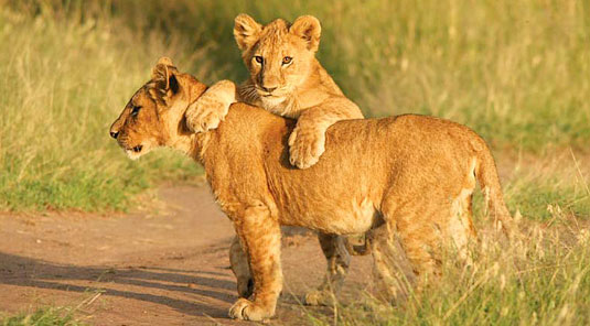 Little Madikwe Hills - Madikwe Game Reserve - Game Drives, Lion Cubs Playing