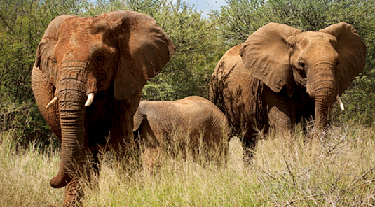 Elephant Sightings - Madikwe Safari Lodge - Madikwe Game Reserve