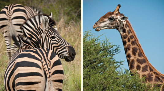 Zebra & Giraffe - Madikwe Safari Lodge - Madikwe Game Reserve